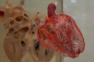 Modell von Organen